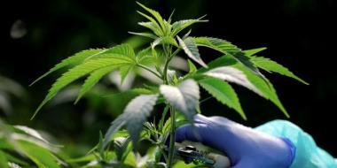 T марихуана где растет конопля в приморье