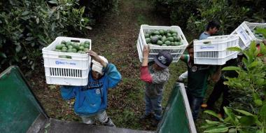 снимка, 4 of Mexico's cartels are fighting for control of the avocado business