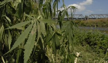 снимка, В България се употребява най-много канабис от всички наркотици