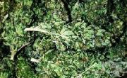 снимка, Употребата на марихуана води до психоза и шизофрения