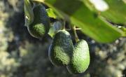 снимка, Мексико: кървавата война за авокадото