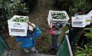 снимка, Четири наркокартела в Мексико се борят за контрол на бизнеса с авокадо