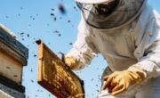 снимка, Защо пчеларите не се разболяват от COVID-19?