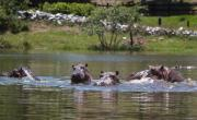 снимка, Colombia's 'cocaine hippos' must be culled, scientists say