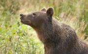 снимка, Убийство на мечка в Испания доведе до разбиването на група за трафик на кокаин