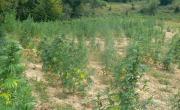 снимка, Канабисова нива откриха край село Влахи