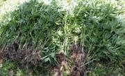 снимка, Задържаха дупничанин, отглеждал канабис в нива в село Цървище