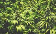 снимка, Български сайт доставя марихуана по домовете