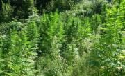 снимка, Над 200 растения канабис откриха гранични полицаи в ниви в Петричко
