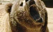 снимка, Кървав ужас! Подивяла мечка разкъса двама младежи в центъра на града!