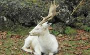 снимка, Бял елен слезе от Балкана, изненада жителите в Карловско