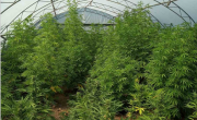 снимка, Оранжерия с марихуана разбиха варненски криминалисти